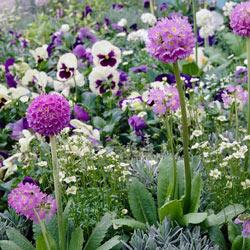 Lilac Drumstick Primrose