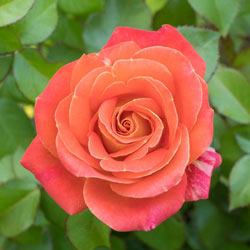 Burst of Joy™ Floribunda Rose