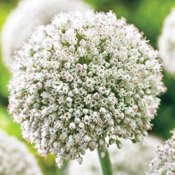 White Cloud Allium