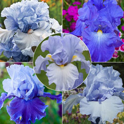 Give Me All The Blues Iris Collection