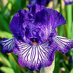 Line Drive Reblooming German Iris