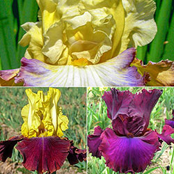 Mardi Gras Iris Collection