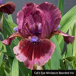 Miniature Iris Trio
