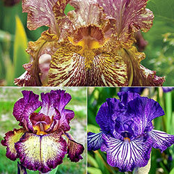 Tie-Dye Iris Collection