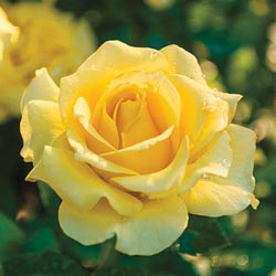 Sparkle & Shine™ Floribunda Rose