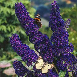 Celebrating Fall Color: Purple Plants