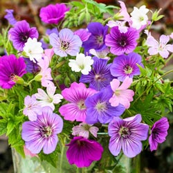 Breeder's Mix Geranium
