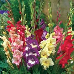 Glamini Dwarf Gladiolus Mix
