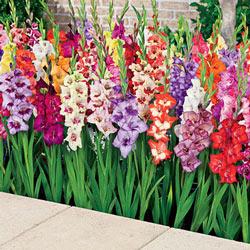 Glamini® Dwarf Gladiolus Mix