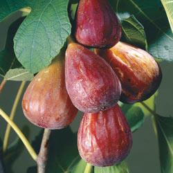 Dwarf Fig