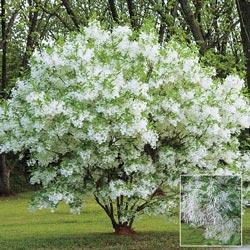 White Fringe Tree