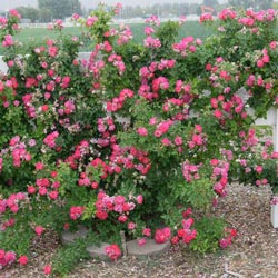 Pink Climbing Rose Plants Cupid S Kiss Climbing Rose