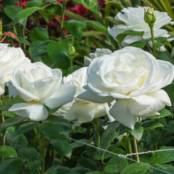 Sugar Moon™ Hybrid Tea Rose
