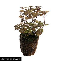 Orchid Frost Lamium