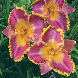 French Lingerie Daylily