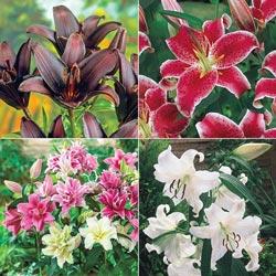 Lily Cutting Garden