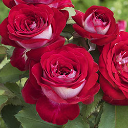 Love at First Sight™ Hybrid Tea Rose
