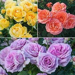 Easter Time Floribunda Rose Collection