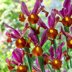 Red Ember Dutch Iris