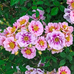 Easy on the Eye™ Own-Root Shrub Rose