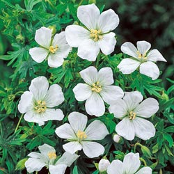 White Hardy Geranium