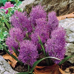 Feather Hyacinth