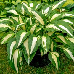 Hostas Sold At Michigan Bulb