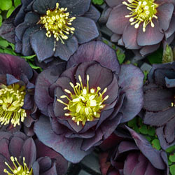 Dark And Handsome Lenten Rose