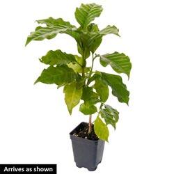 Dwarf Pacas Coffee Tree