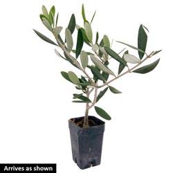European Olive Tree