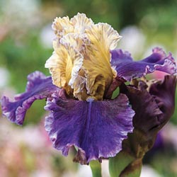 Final Episode Reblooming Iris