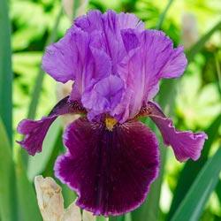 Violet Turner Reblooming Iris