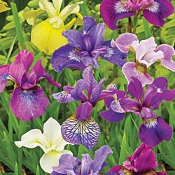Siberian Iris Mix