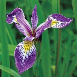 Gerald Darby Versicolor Iris