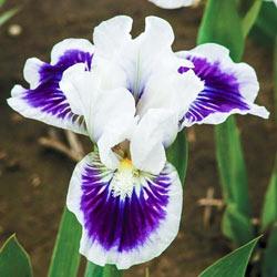 Riveting Miniature German Iris