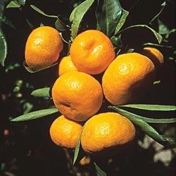 Cleopatra Mandarin Citrus Tree