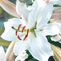 Snow Princess Stargazer Lily