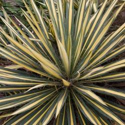 Color Guard Yucca