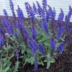 Lyrical™ Blues Salvia
