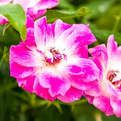 Brilliant Pink Iceberg Budded Rose