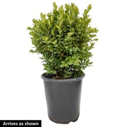 English Dwarf Boxwood