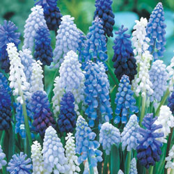 Grape Hyacinth Mix Super Bag
