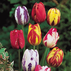 Rembrandt Mixed Tulips