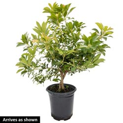 Passion Frost Japonica