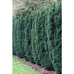 Yew Upright Hicksi Hedge