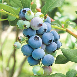 Bluecrop Blueberry Hedge