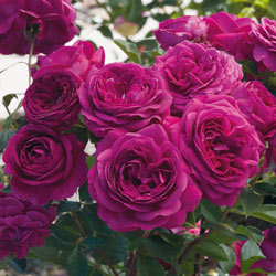 Celestial Night™ Floribunda Rose
