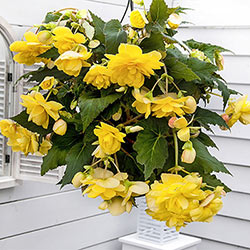 Yellow Pendula Begonia