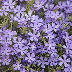 Violet Pinwheels Phlox