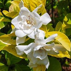 Gold Dubloon Gardenia